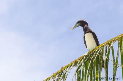 Fou brun sur l'île aux oiseaux à Tetiaroa