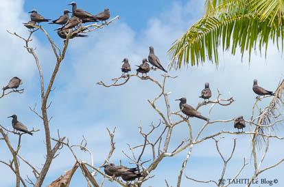 Noddis sur l'île aux oiseaux à Tetiaroa