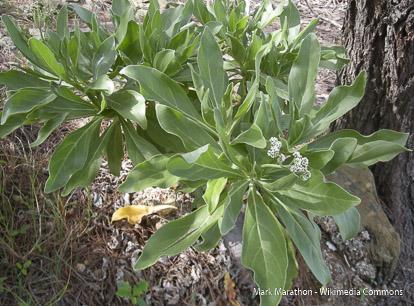 Faux tabac (Argusia argentea)