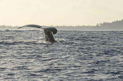 Baleines à Maupiti