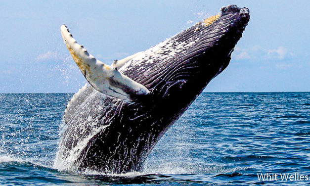 Nager avec les baleines à Tahiti. Pour ou contre ?