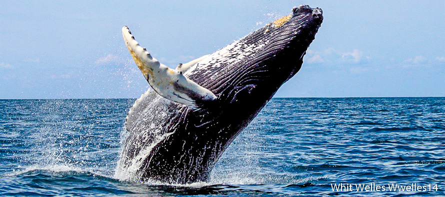 Nager avec les baleines à bosse à Tahiti