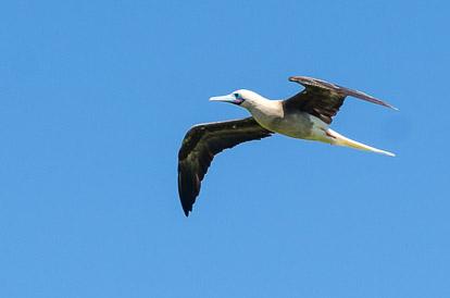 Fou à pieds rouges sur l'île aux oiseaux à Tikehau