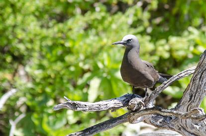 Noddi brun sur l'île aux oiseaux à Tikehau