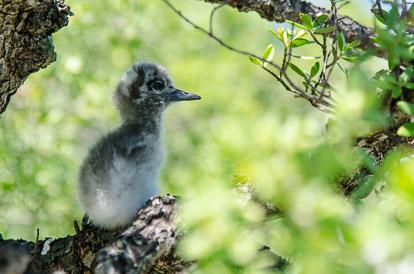 Oisillon de sterne blanche sur l'île aux oiseaux à Tikehau
