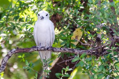 Sterne blanche sur l'île aux oiseaux à Tikehau