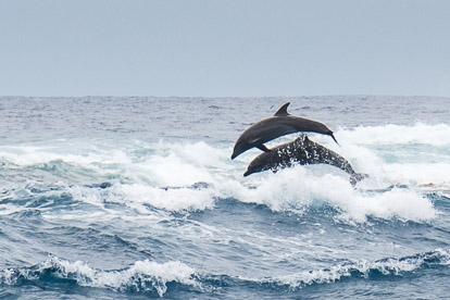 Rangiroa: dauphins dans la passe de Tiputa